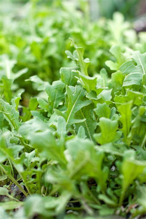 Rucola Garten Pflanzen by Rauke Pflanzen 187 So Gelingt S