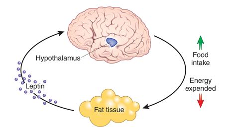 neuropeptide y supplement leptin and the regulation of energy balance a tale of