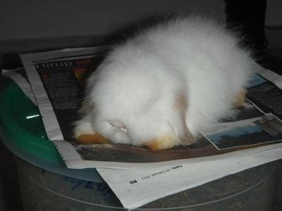 Lop Coklat Map lop eared angora rabbit bunny sold 7 years 7 months