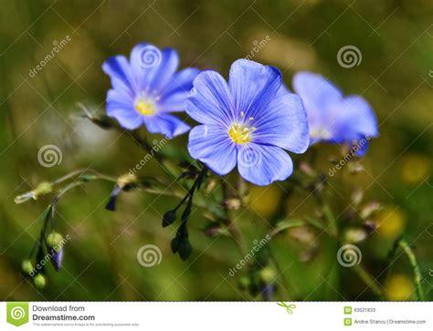 4 flores azules para jard peque 241 a flor azul lino de la linaza foto de archivo