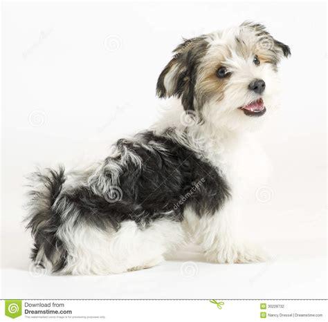 Kleine Longhaired Gemengde Hond, 16 Weken, Maltees En De ...
