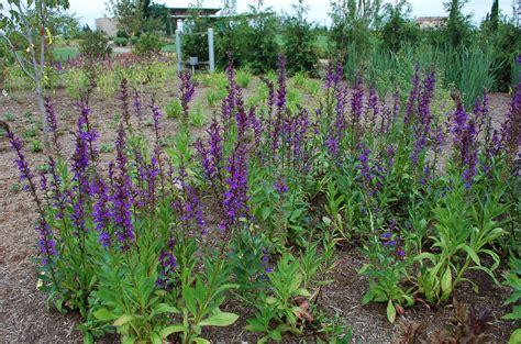 lobelia  horticulture