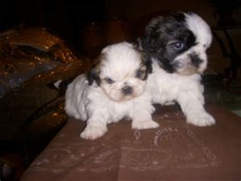 shih tzu puppies for sale ta shih tzu puppies in california