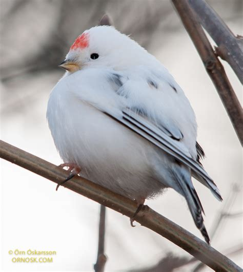 white redpoll ornosk birds landscape weather