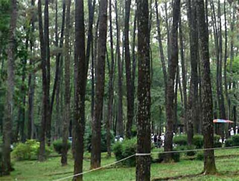 punti kayu natural pine forest