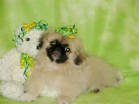 puppies for sale in farmington nm pekingese puppies for sale new mexico breeds picture
