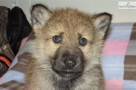 wolf hybrid puppies for sale wolf hybrid dogs for sale in indiana images