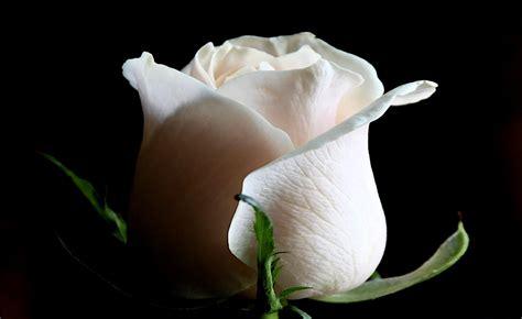 imagenes de flores blancas y negras white rose weneedfun