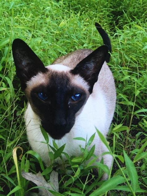 8 Reasons To Get A Siamese Cat by Why Do Siamese Cats Get Darker With Age Quora
