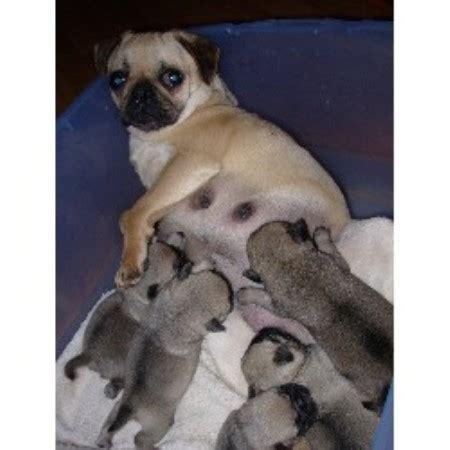 pugs in oregon timber ranch pug breeder in elkton oregon listing id 9550