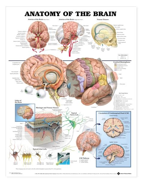 diagram poster anatomy of the brain poster brain anatomical chart company