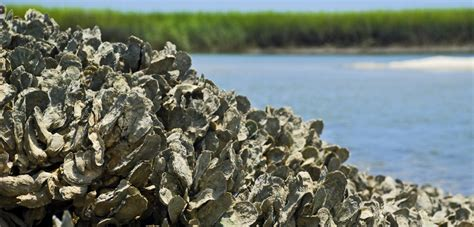 the oyster bed digging up answers to the oyster problem