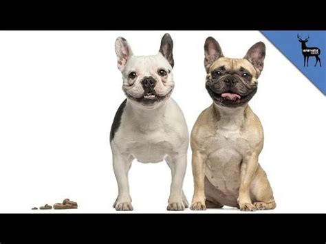 why dogs eat their dogs vet s corner with dr jerry klein funnydog tv