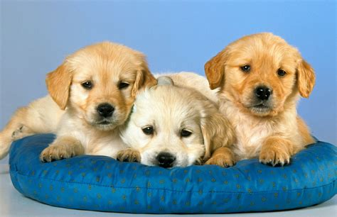 best puppies a warning for dogs and their best friends in study of fertility the new york times