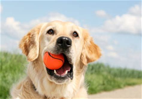 how to teach a to play fetch how to teach a to play fetch using clicker clicker doghealth