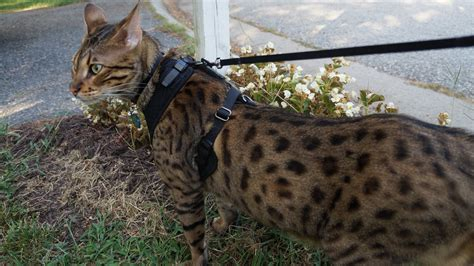 out on a leash how terryã s gave me new books large cat walking on a leash