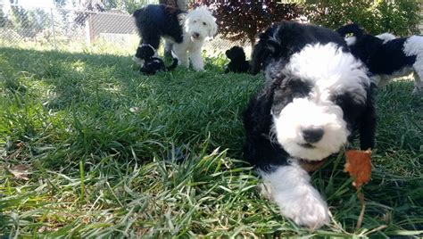sheep doodle puppies for sale sheepadoodle sheepadoodle puppies mini sheepadoodles for