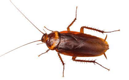 Kakerlaken Bilder by Types Of Cockroaches In New York