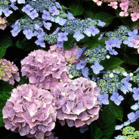 hydrangea growing tips climbing hydrangea flowers hydrangeas gardener s guide flowering