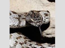 European Cat Snake - Snake Facts Western Diamondback Rattlesnake Head