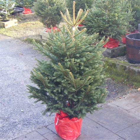 potted norway spruce christmas tree quality trees fast