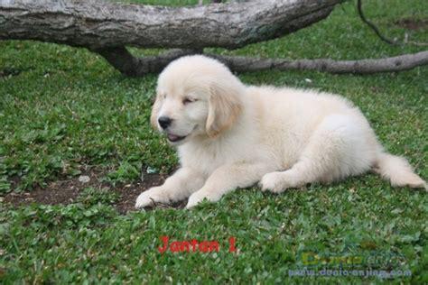 Boneka Anjing Golden Quality dunia anjing jual anjing golden retriever dijual golden retreiver anakan jantan quality