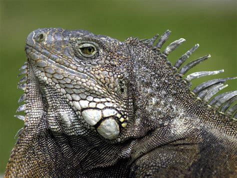 iguana ignites pet concerns nbc4 washington
