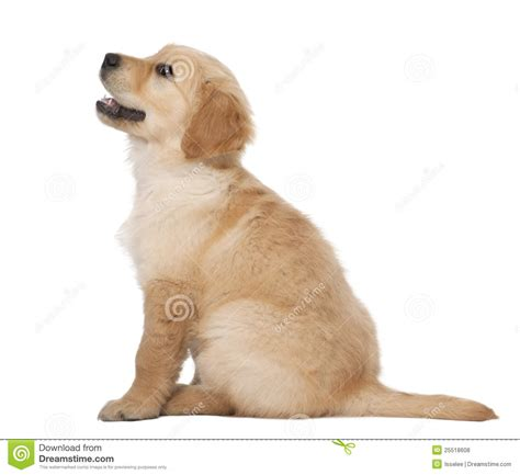 2 month golden retriever golden retriever puppy 2 months sitting royalty free stock photos image 25518608