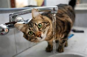 cat care cats need water