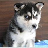 Husky Puppies w...