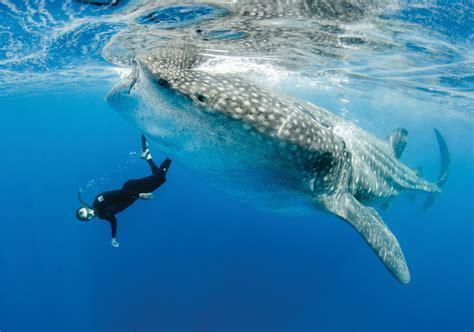 dive shark diving with sharks shark business