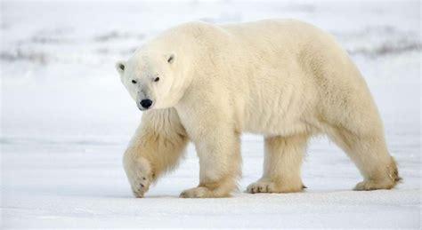 imagenes animales polares el oso polar la reserva