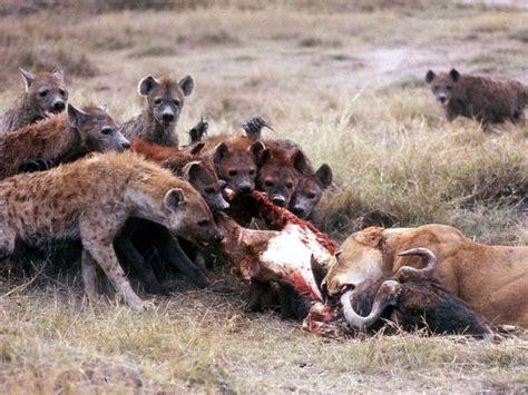 hyena vs lions vs hyenas a running pleistocene rivalry wired