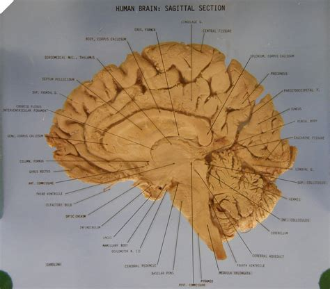 brain midsagittal section the brain sagittal section robotspacebrain