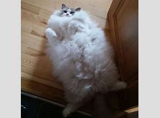 15 Of The Fluffiest Cats You've Ever Seen - Part 1 Fluffiest Kittens In The World