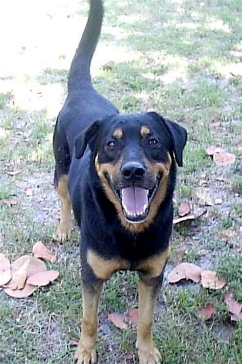 labrador and rottweiler mix image gallery lab rottweiler mix