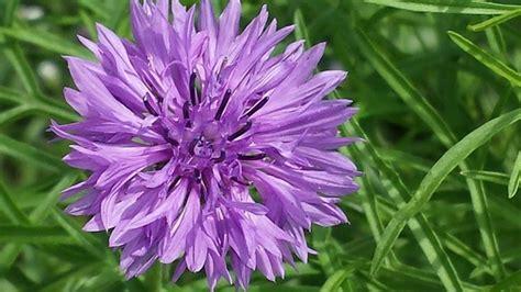 fiordaliso fiore foto fiori fiordaliso fiori di piante caratteristiche dei