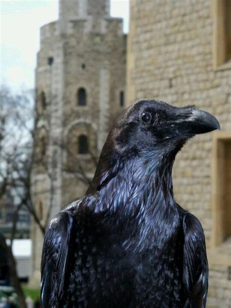 raven at the tower of london ravens and crows