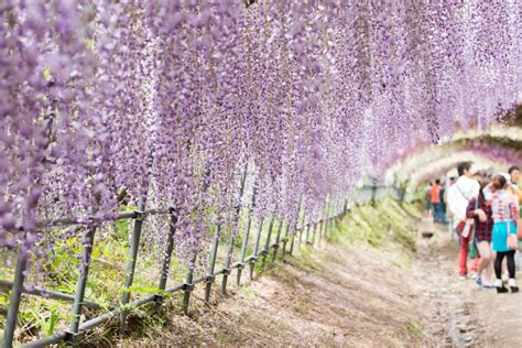 wisteria tunnels tokyo japan s enchanting wisteria tunnel is set to bloom