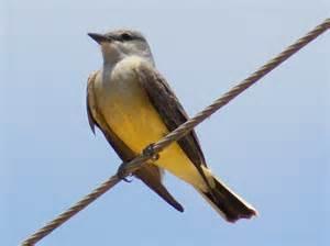 Texas State Bird Flower Tree - texas state bird viewing gallery
