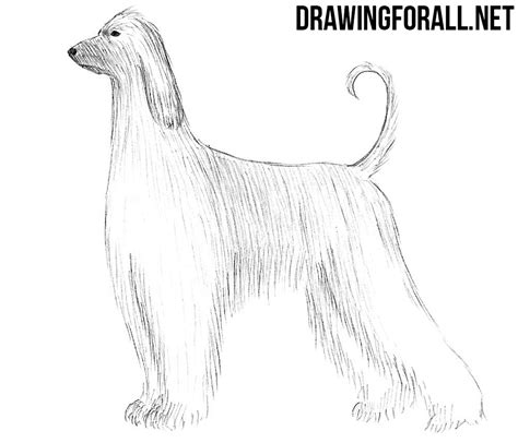 how to a hound how to draw an afghan hound drawingforall net