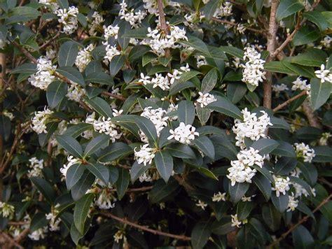 Arbuste Fleuri Feuillage Persistant by Arbuste Fleurs Blanches Feuillage Persistant Id 233 E D