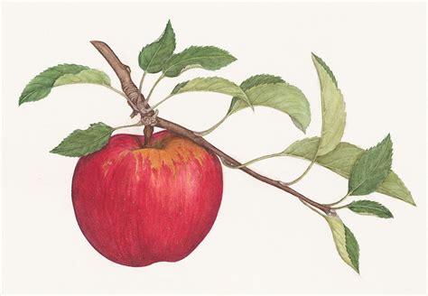 apple drawing apple drawing google search 5 th grade art pinterest
