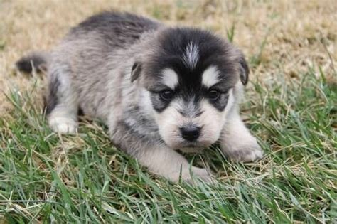siberpoo puppies siberpoo siberian husky poodle mix info temperament puppies pictures