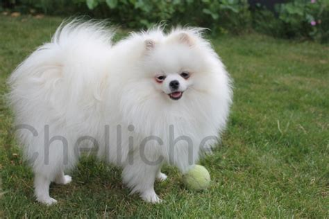 boo for sale white boo pomeranian boy for sale cambridge cambridgeshire pets4homes