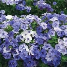 Benih Bunga Mr Fothergills Import Cornflower Blue benih cornflower blue 25 biji non retail