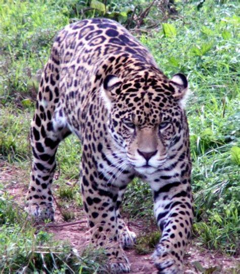 imagenes animadas de un jaguar jaguar free stock photo by steve linster on stockvault net