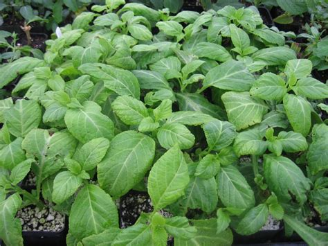where to buy herb plants buy salvia plants online 5 shipping salviaguru com