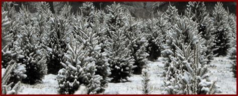 seldom rest christmas tree farm serving columbiaville