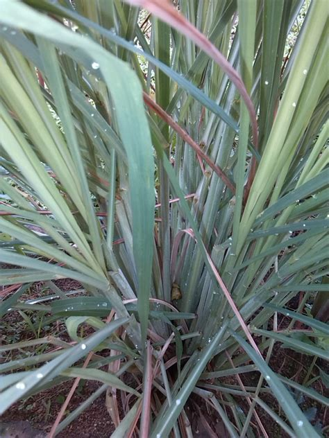 how to prepare citronella grass and ginger tea goingfabulous